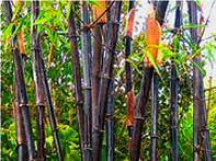 Bamboo stems are strong, flexible, and attractive. Photo credit: http://www.guaduabamboo.com/.